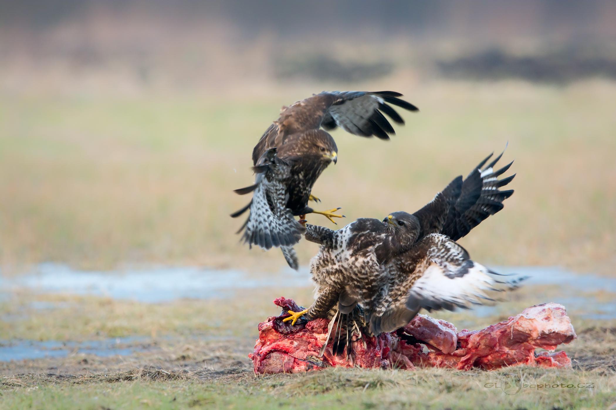 Metr a půl vysocí orli