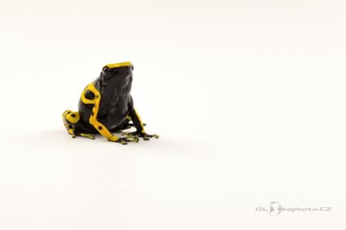 Pralesnička harlekýn (Dendrobates leucomelas)