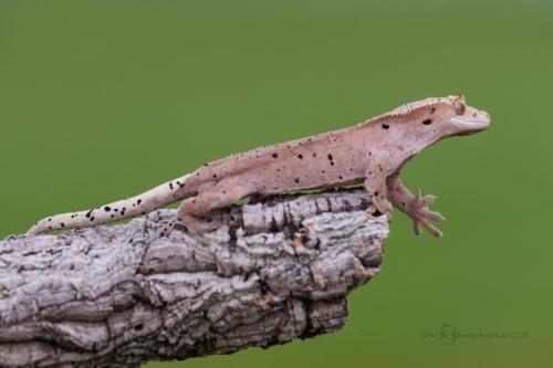 Pagekon řasnatý (Correlophus ciliatus)