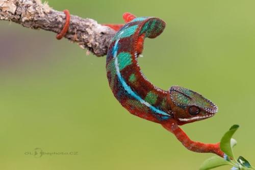 Chameleon pardálí (Furcifer pardalis)