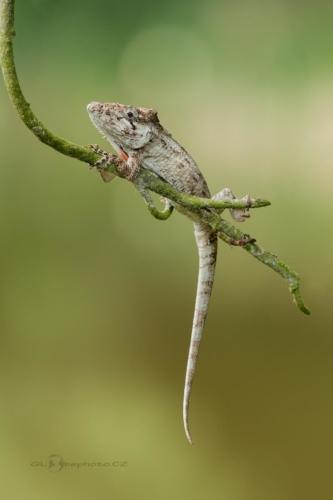 Chameleolis barbatus