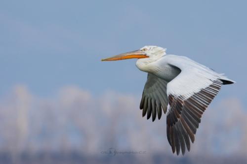 Při letu nebo při plavání pelikáni přitahují zobák ke krku.Pelikán kadeřavý (Pelecanus crispus)