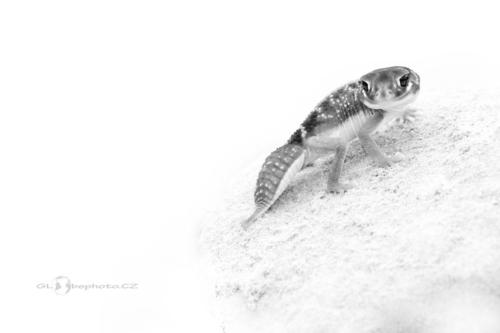 Gekon knoflíkový (Nephrurus levis)