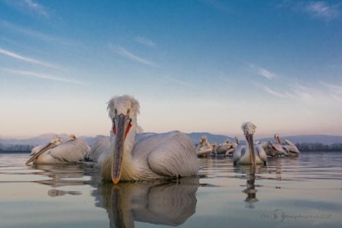 Pohoda na jezeře.Pelikán kadeřavý (Pelecanus crispus)