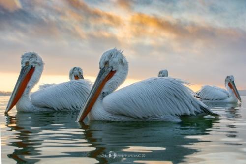 Svítání na jezeře.Pelikán kadeřavý (Pelecanus crispus)