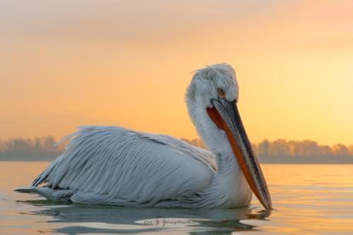 Svítání na jezeře Kerkini.Pelikán kadeřavý (Pelecanus crispus)