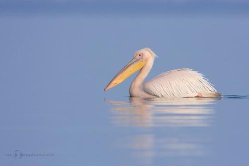 Druhý ze zástupců rodu pelikánu na jezeře.Pelikán bílý (Pelecanus onocrotalus)