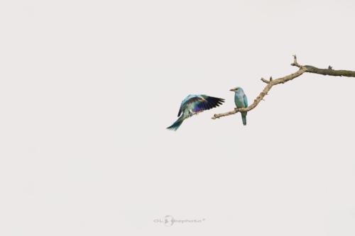 Mandelík hajní (Coracias garrulus)