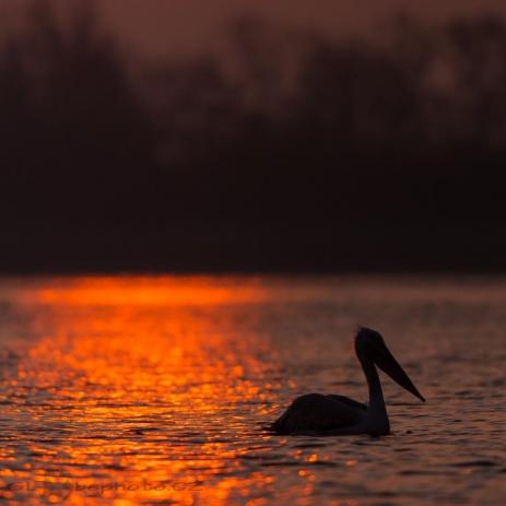 První paprsky na jezeře.Pelikán kadeřavý (Pelecanus crispus)