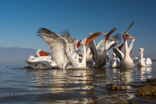 Opera na jezeře.Pelikán kadeřavý (Pelecanus crispus)