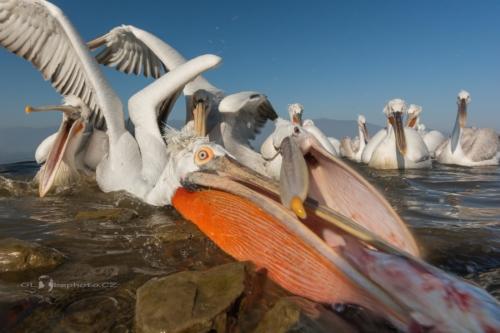 Boj o rybu.Pelikán kadeřavý (Pelecanus crispus)