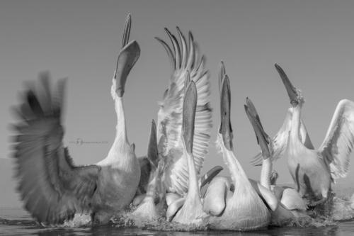Na rozloučenou nám ještě pelikoši zapěli.Pelikán kadeřavý (Pelecanus crispus)