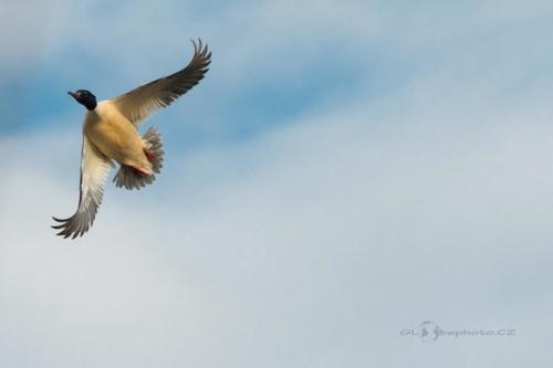 Morčák velký (Mergus merganser)